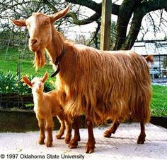 Golden Guernsey Goats Looks like I may go Guernsey all the way 'round! These goats are said to be gentle and sweet, with a decent production of nice, rich milk. Perfect!