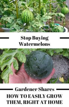 Stop buying watermelons. Expert gardener shares how to grow them in a container right at home