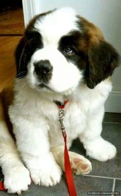Someday I hope to own a Saint Bernard!
