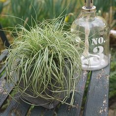 Buy sedge Carex oshimensis Everlite (PBR) (EverColor Series) - Tough and colourful evergreen groundcover: pot: Delivery by Crocus Evergreen Groundcover, Fence, Alternative, Herbs, Plants, Color, Colour, Herb, Plant