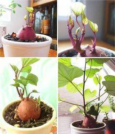 How to Grow A Sweet Potato Vine Plant (outdoor flower planters potato vines) Organic Vegetables, Growing Vegetables, Growing Plants, Garden Care, Sweet Potato Plant Vine, Sweet Potato Vines, Sweet Potato Flower, Growing Sweet Potatoes, Grow Potatoes