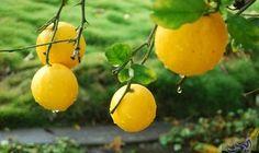 إكتشفي فوائد الليمون كمقاوم قوي لنزلات البرد: على الرغم من صعوبة تناول الليمون بمفرده إلا أنه له العديد من الفوائد والتي تتمثل في : 1-…
