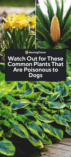37 Common Plants That Are Poisonous to Dogs - Healthy Plants Plants Toxic To Dogs, Plants Poisonous To Dogs, Outside Plants, Outdoor Plants, Indoor Outdoor, Hosta Plants, Jade Plants, Houseplant, Growing Ginger Indoors