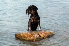 Puppy in the river Dog Photography, Photography Portfolio, Mini Schnauzer, Dog Lovers, Puppies, River, Dogs, Animals, Miniature Schnauzer