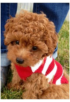 Animals And Pets, Baby Animals, Funny Animals, Cute Animals, Cute Puppies, Cute Dogs, Dogs And Puppies, Doggies, Toy Poodle Puppies
