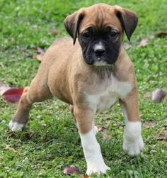 Poxer- Boxer and Pug Cute Boxer Puppies, Pitbull Mix Puppies, Boxer Dogs, Bulldog Puppies, Boxers, Pug Mixed Breeds, Pug Breed, Pug Cross, Boxer Bulldog