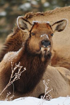 My friends of #Estes Park. These elk are everywhere