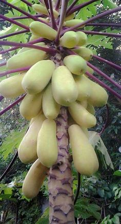 Is this any kind of papaya?god knows!