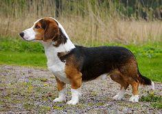 Drever. Hunting dog. Short legged Roe Deer specialist. (from www.skk.se)
