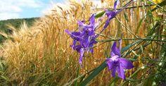 Nemțișorul: buruiană de leac, insecticid bio și colorant natural | Paradis Verde
