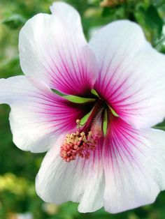 ✿ Larchmont Hibiscus - sure would like to see these blooms in my backyard!