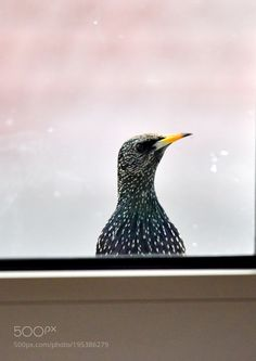 Starling by malipoglu #animals #animal #pet #pets #animales #animallovers #photooftheday #amazing #picoftheday