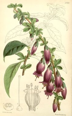 v.89 [ser.3:v.19] (1863) - Curtis's botanical magazine. - Biodiversity Heritage Library