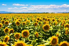 sunflower fields dixon california - Google Search