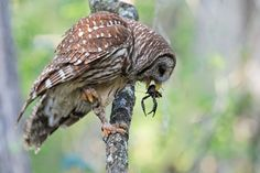 Barred Owl With Crayfish Owl Diet, Reptiles, Mammals, Barred Owl, Animals Images, Birds Of Prey, Wildlife Photography, Beautiful Birds, Owls