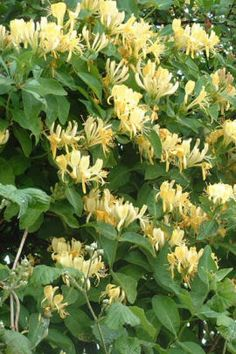 as kids we would pinch the bottom of a bloom off and suck out the nectar~ah, good times I miss the vine honeysuckle! Up here in NW Massachusetts, the honeysuckle bushes here have no fragrance! Plants, Garden, Vines, Beautiful Flowers, Outdoor Gardens, Shrubs, Dream Garden, Flowers, Landscape
