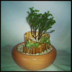 Mini bonsai de pino