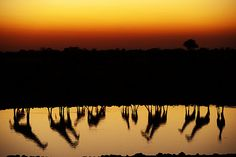 Giraffes crowd around a waterhole in Etosha National Park at Sunset Amazing Photography, Nature Photography, Safari, African Sunset, Water Reflections, Amazing Sunsets, Wonderful Places, Beautiful Places, Oh The Places You'll Go