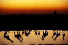 Giraffes crowd around a waterhole in Etosha National Park at Sunset. #Giraffes #Okaukuejo #Etosha | Discover more Namibia: stories.namibiatourism.com.na |