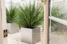 Onion grass in planter