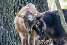 Baby Goat Snuggle-Headbut | - Jester King Brewery, outside A… | Flickr Jester King, Baby Goats, Pictures Of The Week, Snuggles, Brewery, The Outsiders, Fox, Animals, Animales