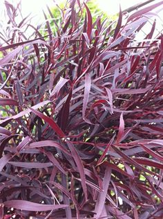 Agonis fresh cut foliage (accent only)
