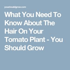 What You Need To Know About The Hair On Your Tomato Plant Should Grow