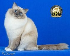 The Birman beginnings are shrouded in legend and mystery. There are numerous folk tales and legends describing how the Birman obtained its unique colorings and markings that offer explanations, while the real Birman history keeps everyone guessing. Birman Kittens, Cats And Kittens, Ragdoll Cats, Cute Little Kittens, Cute Cats, Domestic Cat Breeds, Animal 2, Beautiful Cats, Dog Cat
