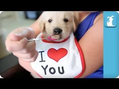 ▶ The best forty seconds you'll spend all day!  Spoon Feeding a Baby Golden Retriever Puppy - Puppy Love - YouTube