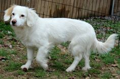 ... months old, and weighs 20 lbs. She walks great on a lead. Lexie is Great Pyrenees 6 Months Old Weight