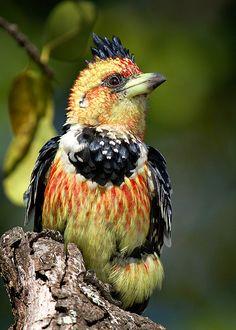 ~~Crested Barbet (Kuifkophoutkapper) by Leon Molenaar~~