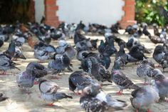 Pigeon, Racing, Free, Pest Control, Dog Food, Dog Cat, Animales, Rats, News