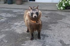 """My grandma had a raccoon. She thought it's a dog. So, she took care of the racoon as a dog. Of course, she had taken the dog(actually raccoon) for a walk everyday. On rabies vaccinations for dogs, a vet said to her """"It's not a dog."""""""