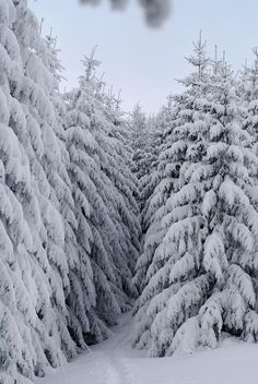 Majestic Evergreens Weighted with Snow