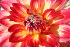 Dahlia in the retaining wall- 2010