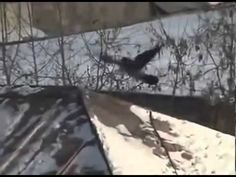 A crow does tobogganing using a mayonnaise lid