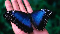 The Top 10 Spots for First Timers //The iridescent Blue Morpho Butterfly (Morpho menelaus) from Monteverde.