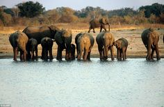 Hwange boasts more than 100 mammal species and 400 types of bird, and these Wilderness cam...