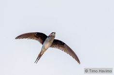 2016-02-03 Grey-rumped Treeswift in Thailand