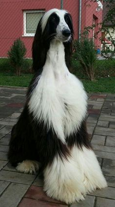 Of The World's Largest Dog Breeds - dogs - Afghan Hound - Big Dogs, Large Dogs, I Love Dogs, Cute Dogs, Dogs And Puppies, Doggies, Giant Dogs, Funny Dogs, Puppies Tips