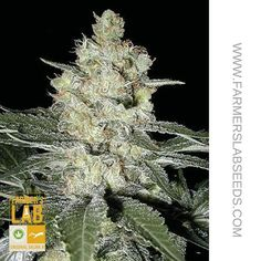 Original Skunk #1, is a hybrid strain that elevates creativity, has a skunk-like odor and is known to be easy to grow. #marijuana