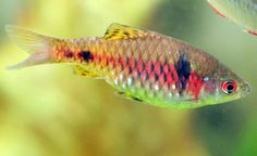 Odessa Barb We have three of these little guys in our tank currently! They are super fast swimmers and tend to be a little less aggressive than the Tiger Barbs that we have.