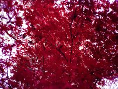 Japenese Red Maple