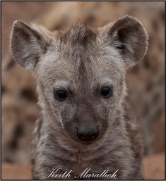 A curious little #hyena in the #KrugerNationalPark. Kruger National Park, Hyena, Kangaroo, Photography, Animals, Baby Bjorn, Photograph, Animales, Animaux