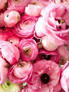 pink peonies in bloom
