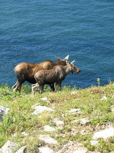 Two Moose on Skyline Trail - Cape Breton Island, Nova Scotia, Canada 🍁 ; Places To Travel, Places To See, Cabot Trail, East Coast Travel, Enchanted Island, Atlantic Canada, Most Romantic Places, Cape Breton, New Brunswick