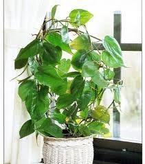 Sweetheart Vine   House Plants House Garden Indoor Plants Greenery