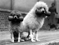 Poodle people were the ones who introduced the canine sport of obedience.