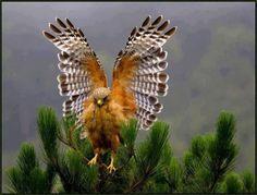 faucon crécerelle | Faucon crécerelle en parade nuptiale... essayez d'en faire autant !