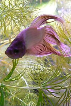 Pink and purple veil tail betta...so pretty!